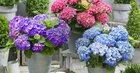 Green Fits All: Hydrangea macr. 'Little'® XS