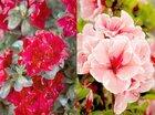 Bloeiende Rhododendrons op Plantarium 2019