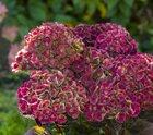 Nieuwe kleuren in de tuin met Magical hortensia's!