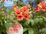 Campsis 'Takarazuka Fresa' (SUMMER JAZZ FIRE) beste nieuwigheid Plantarium 2014