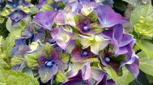 Meilleure nouveauté Plantarium 2017 : Hydrangea macrophylla « Jong 01 » (Lady Mata Hari)