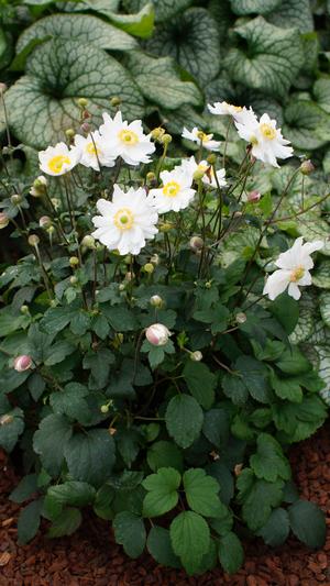 Anemone hupehensis 'Ifansa' (Snow Angel)