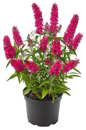 Buddleja davidii 'Artbud 1580' (Summer Teens Mats Magic Red)
