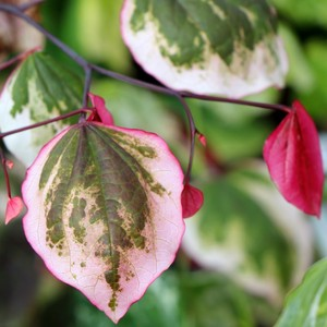 Cercis canadensis 'NCCC1' (Carolina Sweetheart)