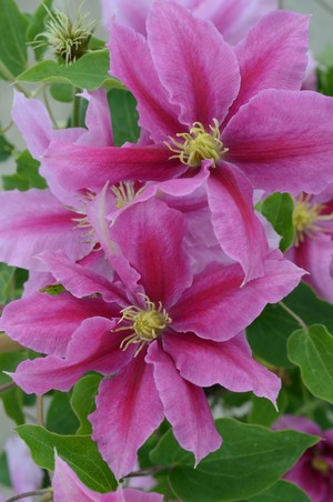 Clematis 'Evipo114' (Up Climbers Vicky)