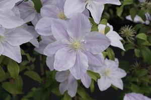 Clematis 'Zo10075' (Bellissima)