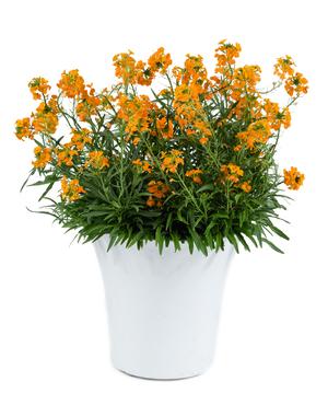 Erysimum  'Dersurng' (Sunstrong Orange)