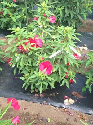 Hibiscus  'Akata88' (Raijin)