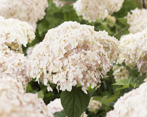 Hydrangea arborescens 'GRHYAR1406' (Candybelle Marshmallow)