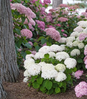 Hydrangea arborescens 'NCHA5' (BellaRagazza Blanchetta)