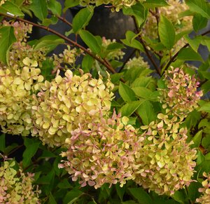 Hydrangea paniculata 'Renvagor' (Romantic Ace)