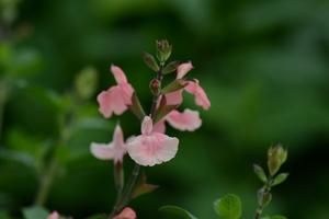 Salvia  'Aphrodite'