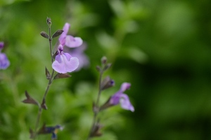 Salvia jamensis 'Carolus'