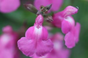 Salvia jamensis 'Delice Roselilac'