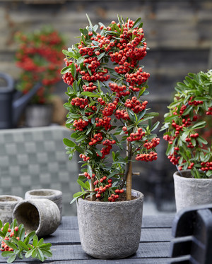 Pyracantha coccinea 'Red Star' (Up Climbers)