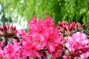 Rhododendron 'Calle CP' (Choco & Pink)