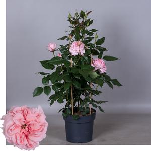 Rosa 'Poulren030' (Renaissance Marlis)