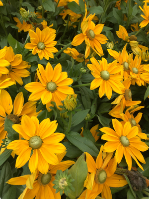 Rudbeckia hirta 'Bullrudi 09' (Sunbeckia Ophelia)