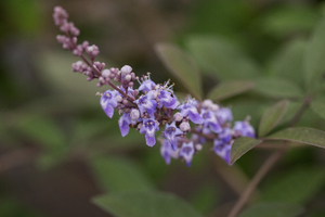 Vitex  'Bailtexone' (Flip Side)
