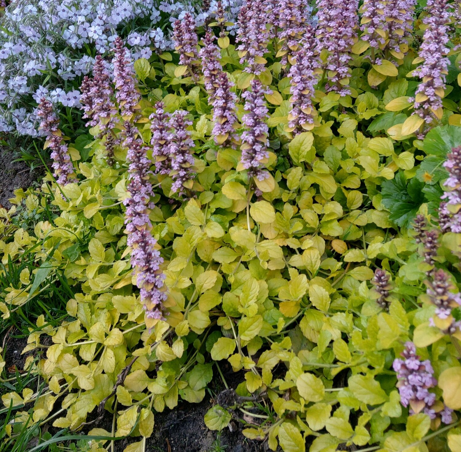 Ajuga reptans 'Gold Chang' (Golden Treasure)