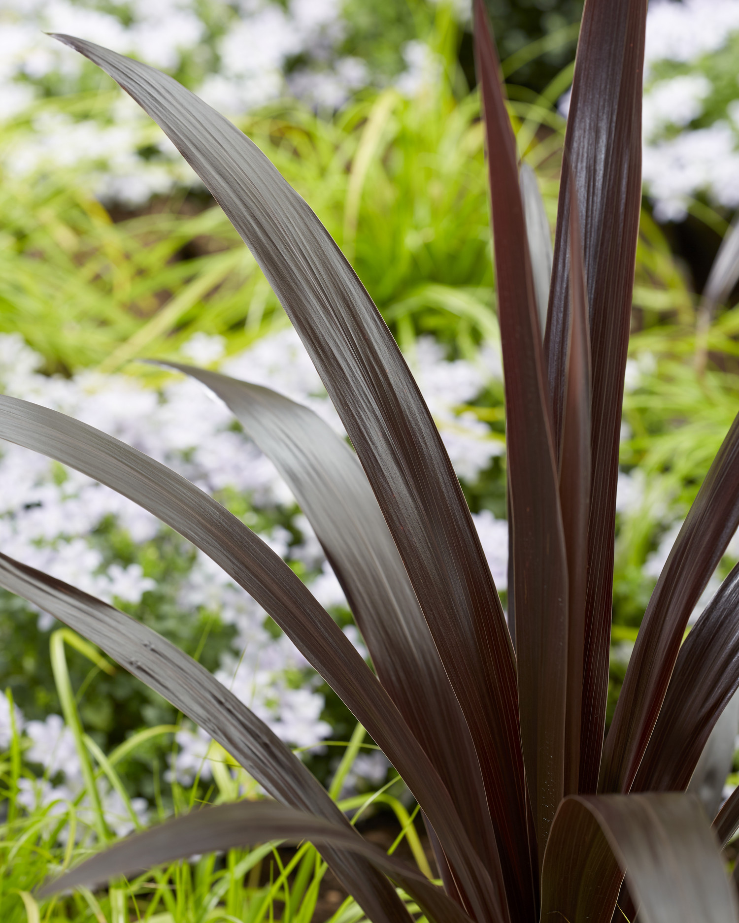Cordyline  'Albatross' (Superstar)