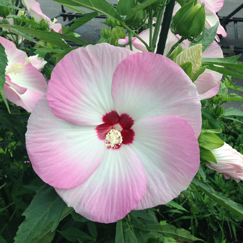 Hibiscus  'Akata204' (Fujin)
