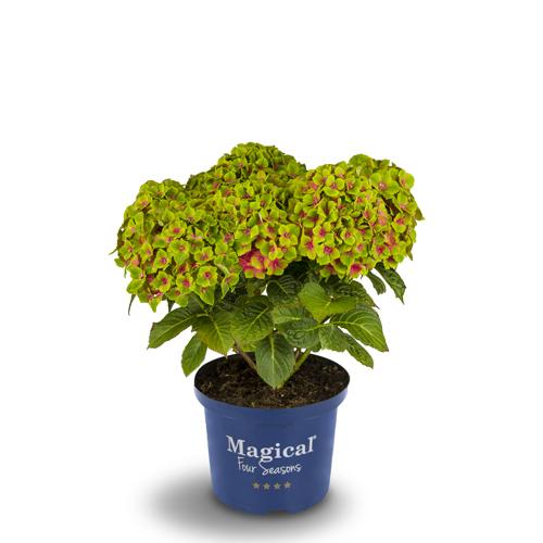 Hydrangea macrophylla 'Hokomagrede' (Magical Green Delight)