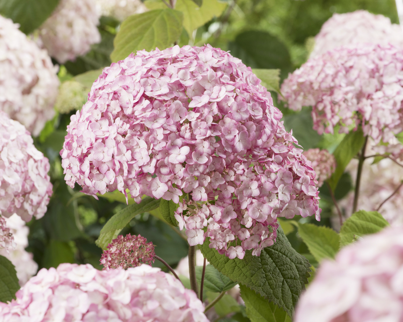 Hydrangea arborescens 'GRHYAR1407' (Candybelle Bubblegum)