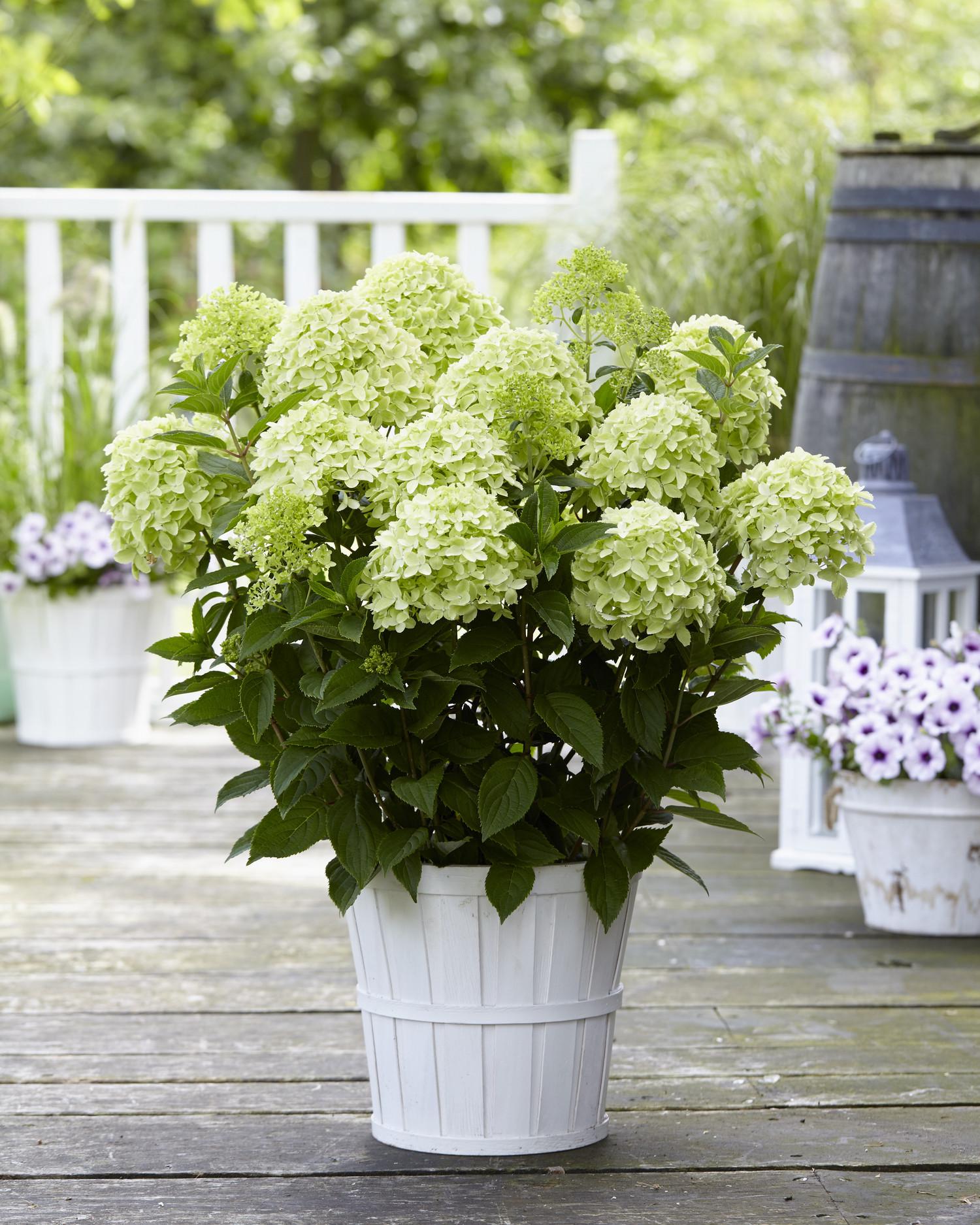 Hydrangea paniculata 'HYLV02' (Whitelight)