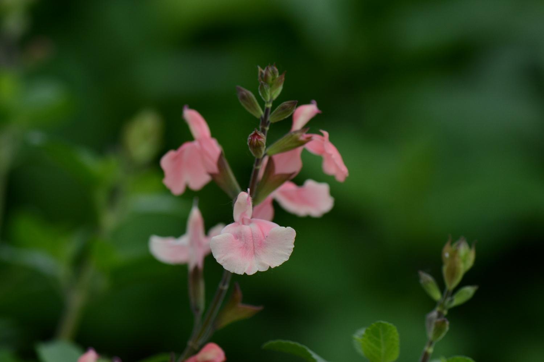 Salvia  'Aphrodite' ()