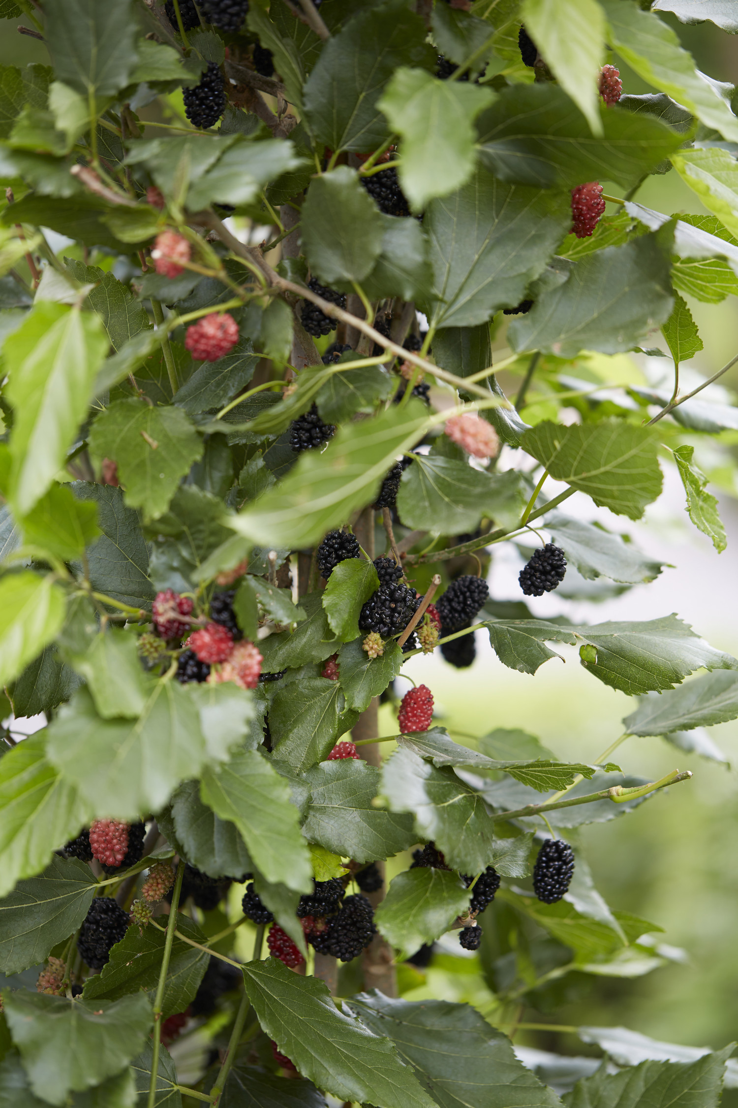 Morus rotundiloba 'Matsunaga' (BonBonBerry Mojo Berry)