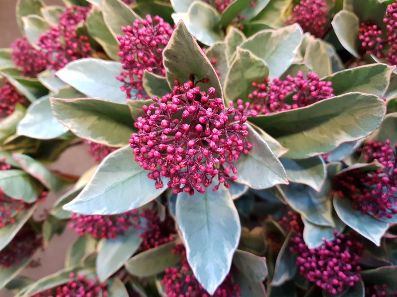 Skimmia japonica 'Perosa' ()