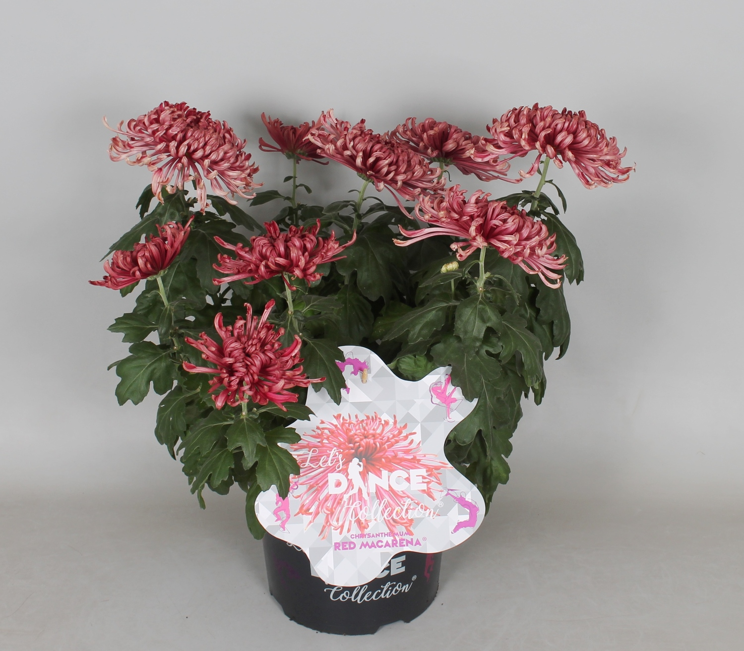 Chrysanthemum Let's Dance Collection