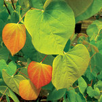 Cercis canadensis 'The Rising Sun'®